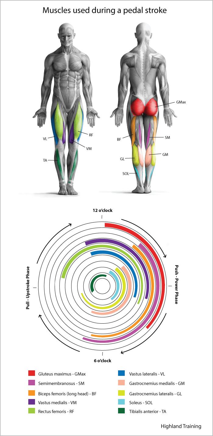 Muscles utilisés à vélo.